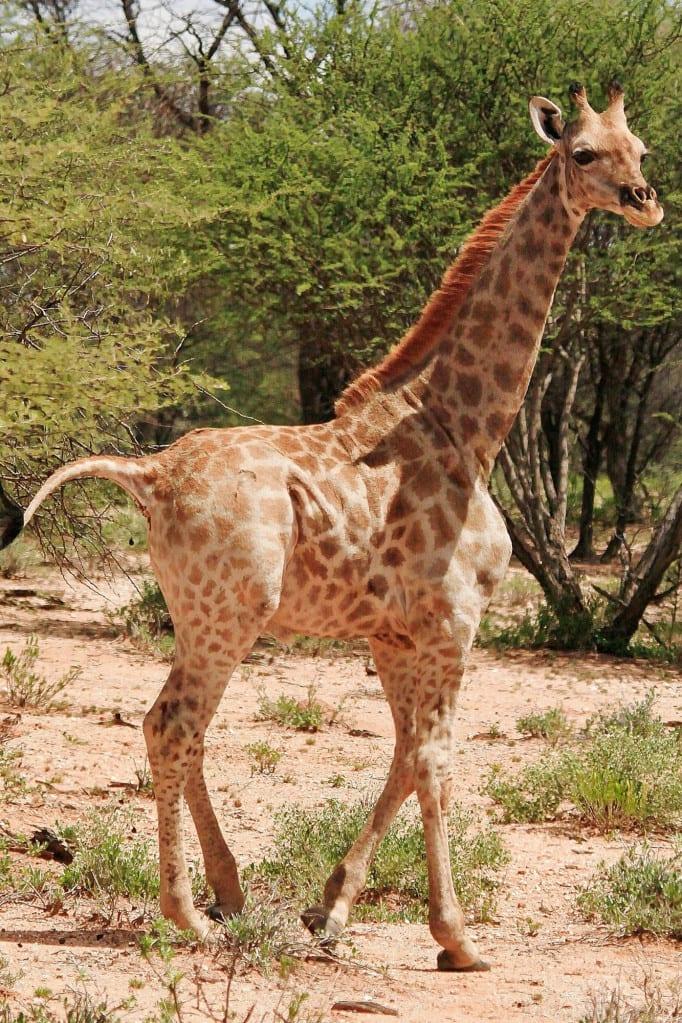 Dwarf giraffes discovered in Uganda