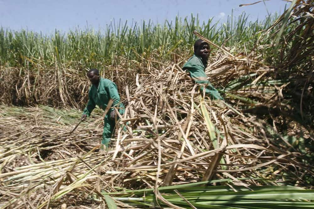 Sugarcane farming leaves bitter taste in farmers' mouths as cartels chew up factories