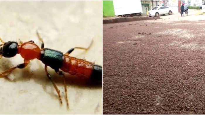 Narrow Bee flies infest Kabarnet town