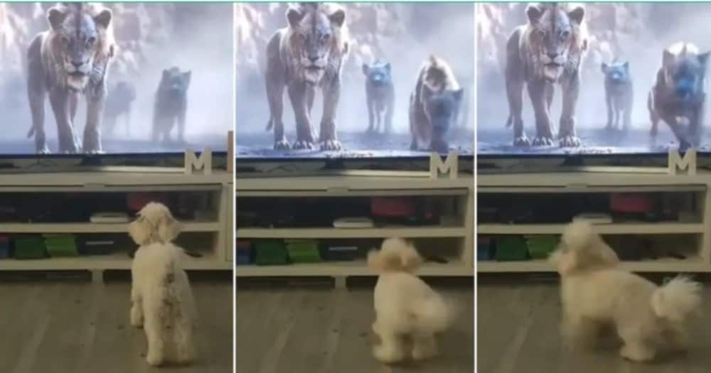 Little Dog 'Picks Race', Thinking Lion and Wolves on the TV were Pursuing it, Funny Video Sparks Reactions