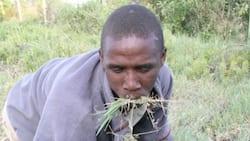 Kakamega: Drama as Thief Who Stole Laptop is Found Eating Grass