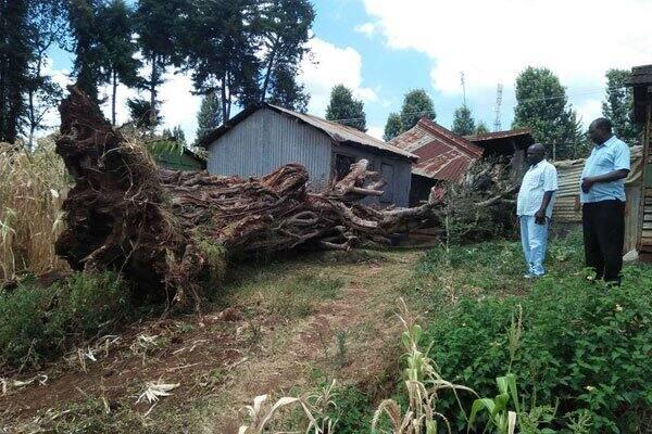 Panic as 200-year-old Mugumo tree falls in Kirinyaga