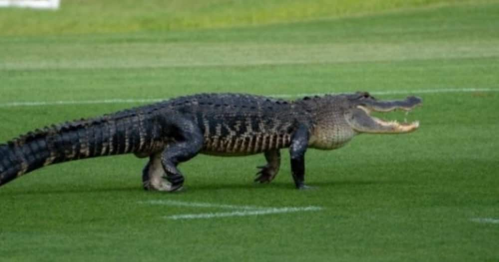 Bizarre moment as players halt football training after Alligator invades pitch