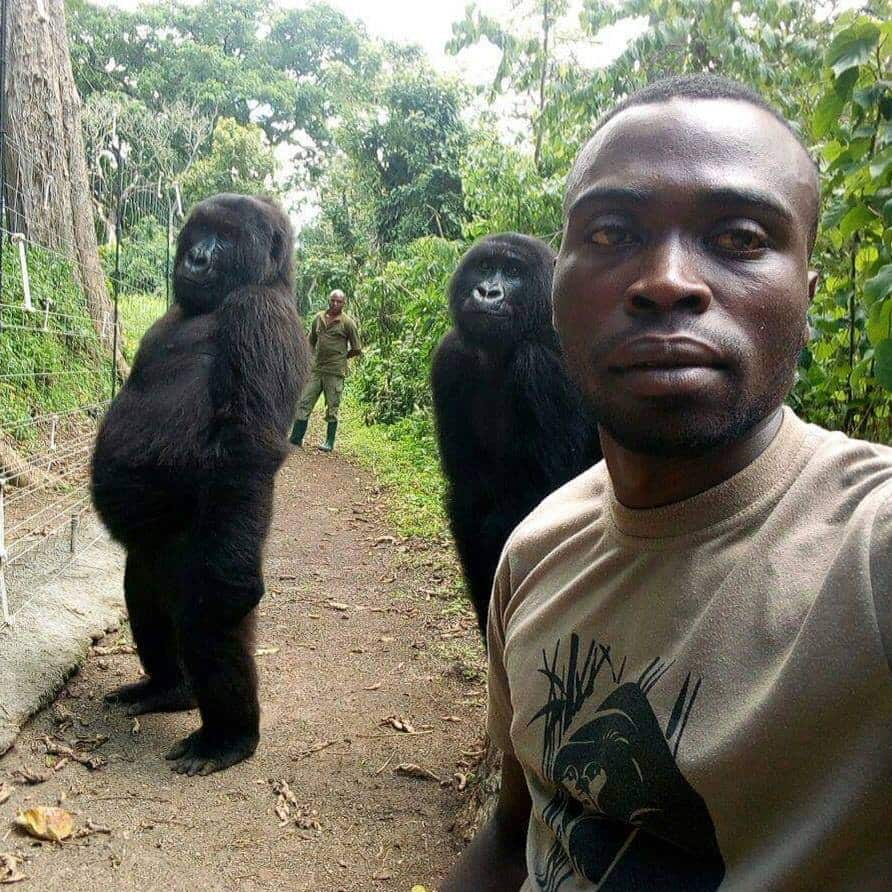 Two gorillas stun the world; pull off amazing human-like pose for selfie moment (Photo)