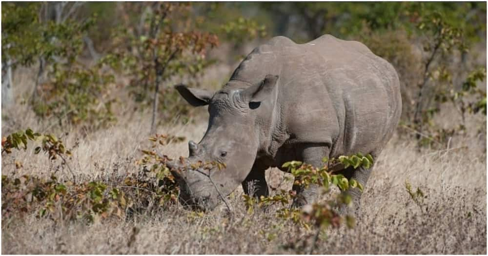 Scientists successfully harvest 10 eggs from 2 remaining northern white rhinos in race to save species