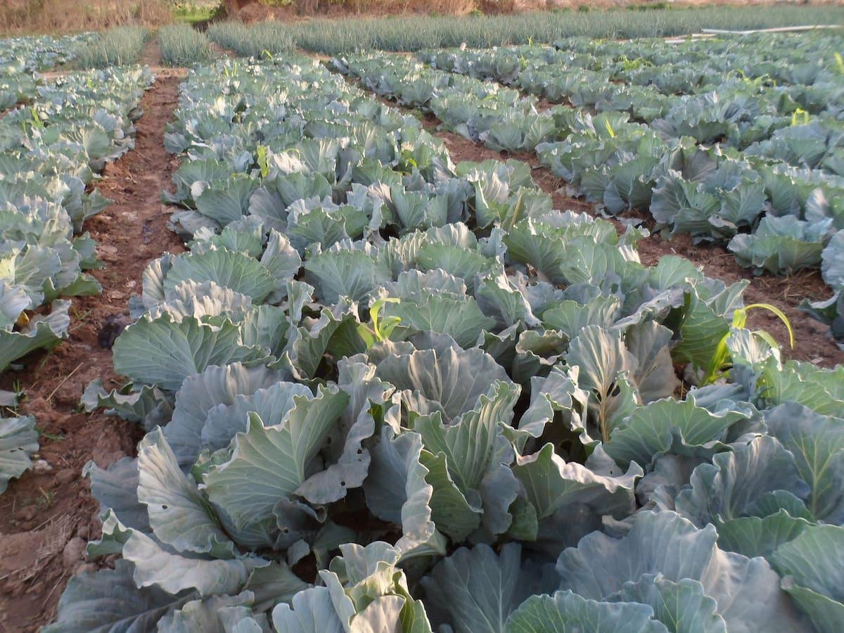 Top 10 Crop With Highest PROFIT Per Acre in Kenya ▷ Tuko co ke