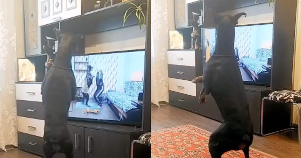 Man's best friend: Dog perfectly follows workout routine on TV