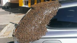 Mystery Bees Attack Mpango Wa Kando Who Stole Toyota Fortuner from Sacco Manager in Kakamega