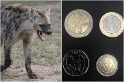 Cheeky Kenyans unanimously agree the hyena should have made part of new generation coins